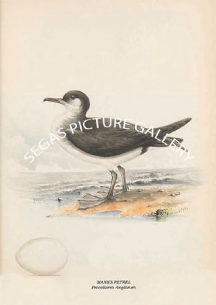 MANKS PETREL - Procellarra Anglarum